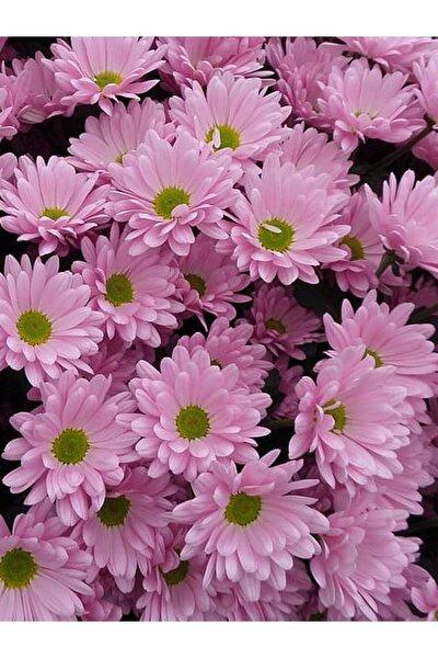 +10 Adet Pembe Papatya Çiçeği Tohumu