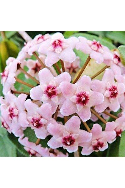 Mum Çiçeği Hoya Cornasa 50cm