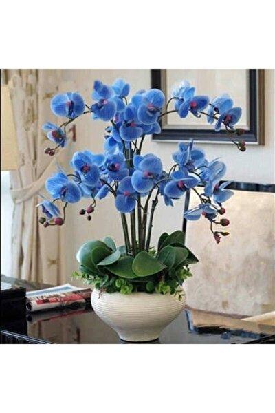 10 Adet Mavi Orkide Tohumu