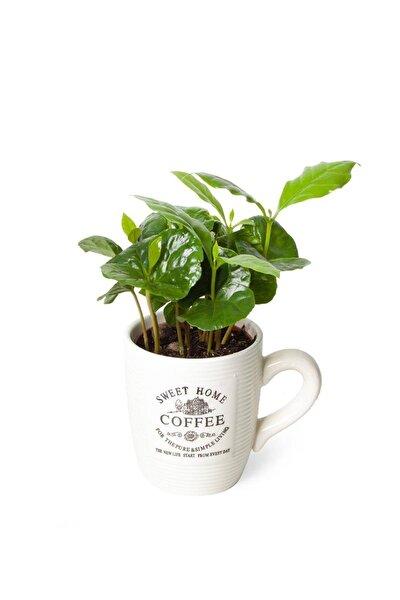 Coffea Arabica | Kahve Çiçegi (ıthal) 9cm Ø