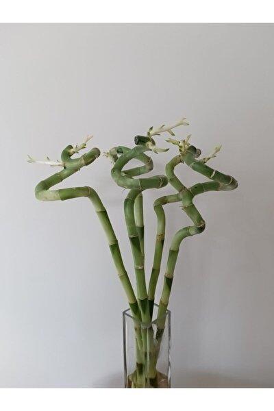 7 Adet 45-55 Cm Şans Su (Lucky Bamboo)