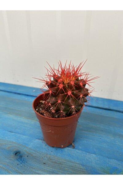 Renkli Kaktüs Echino Kırmızı