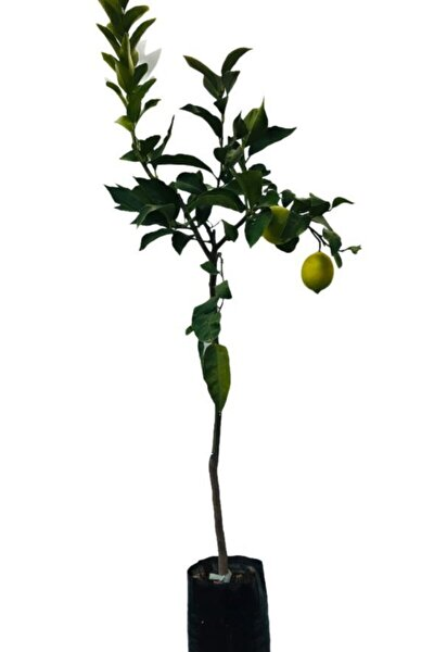 Limon Fidanı ( Çiçekli ) Aşılı Fidan Yediveren Limon Fidanı