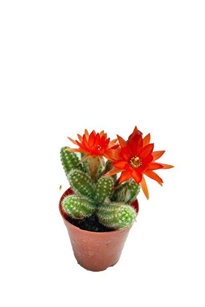 Chamaecereus Silvestrii - 5,5 Cm Saksıda Kırmızı Çiçek Açan Kaktüs