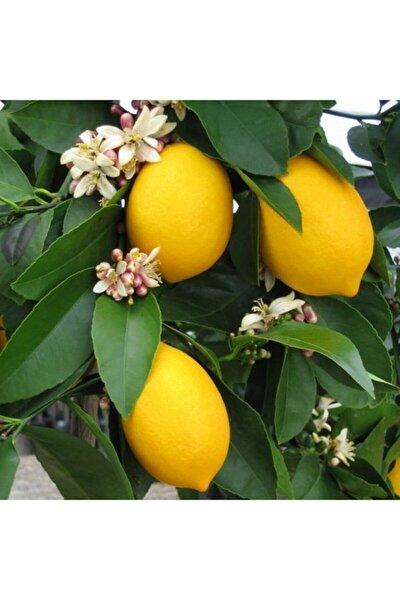 3 Yaş Soğuklara Dayanıklı Mayer Yediveren Limon Fidanı
