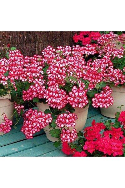 10 Adet Alacalı Sakız Sardunya Çiçek Tohumu