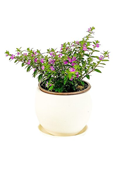Kufeya Cennet Çiçeği Mor - Cuphea Hyssopifolia 20-30cm