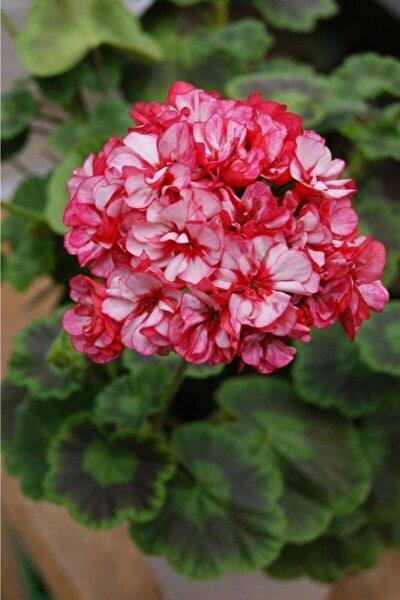 10 Adet Iki Renk Sakız Sardunya Çiçek Tohumu