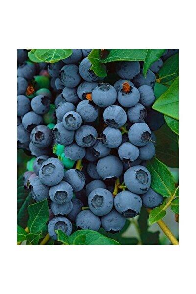 Duke Yaban Mersini Fidanı Saksılı ( Maviyemiş ) Blueberry