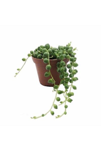 Senecio Rowleyanus Tesbih Çiçeği 5.5 Cm Saksıda