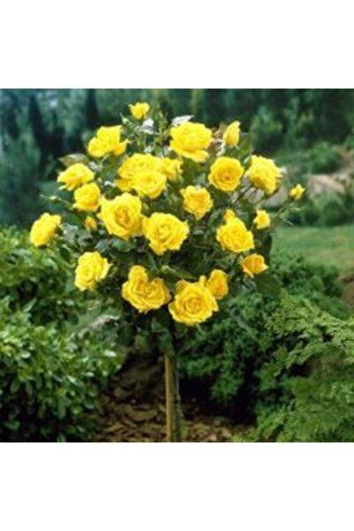 1 Adet Baston Sarı Renk Gül Fidanı Tüplüdür