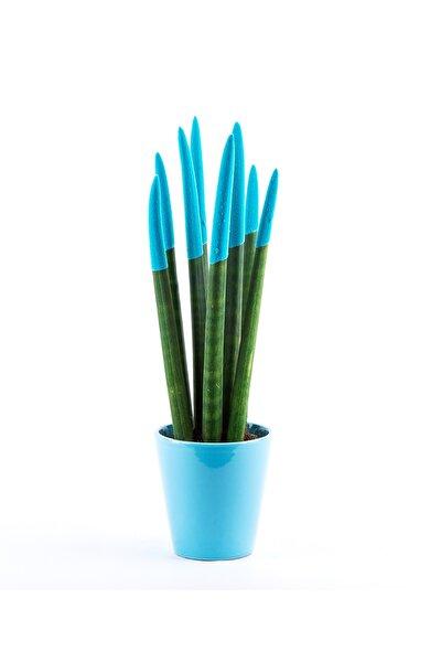 Sansevieria Renkli Paşa Kılıcı Çiçeği 30-35 cm Turkuaz Canlı Çiçek