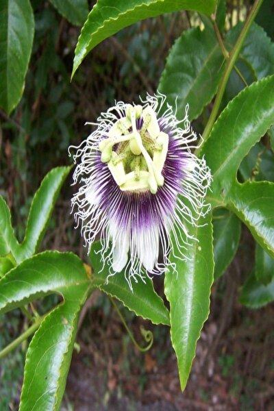 Tüplü Pasiflora Edulis Maruçya (maracuya) Fidanı