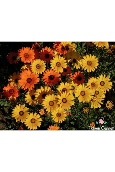 Nergis Aynı Sefa Çiçeği Tohumu 5 Adet ( %100 Çimlenme )
