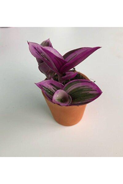 Sukulent Bitki Mor Yapraklı Telgraf Çiçeği 5,5 cm Tradescantia Nanouk Sukulent