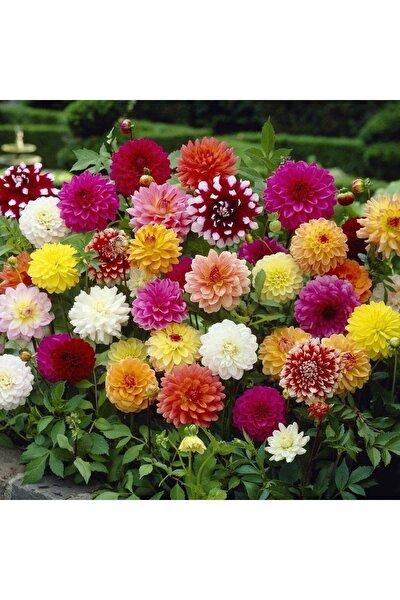 Yıldız Çiçeği Tohumu 30 Adet ( %100 Çimlenme )