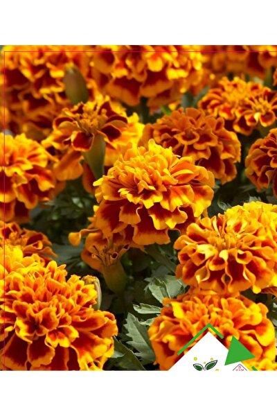 Karagöz Kadife Çiçeği Tohumu 5 Adet ( %100 Çimlenme )