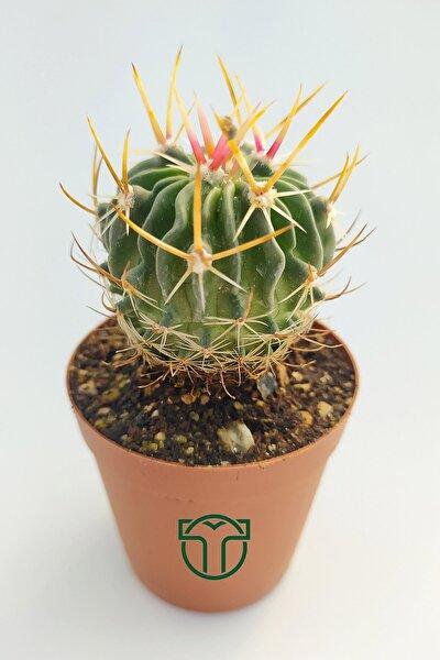 Echinofossulocactus Multicostatus Kaktüs 5.5 cm Saksıda