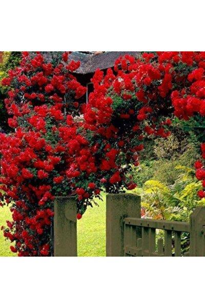 Sarmaşık Çardak Gülü Kırmızı 120 cm