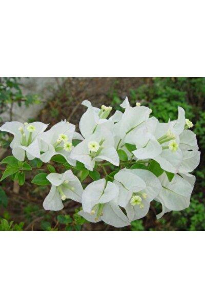 Beyaz Begonvil Çiçeği Sarılıcı 180 cm 200 cm