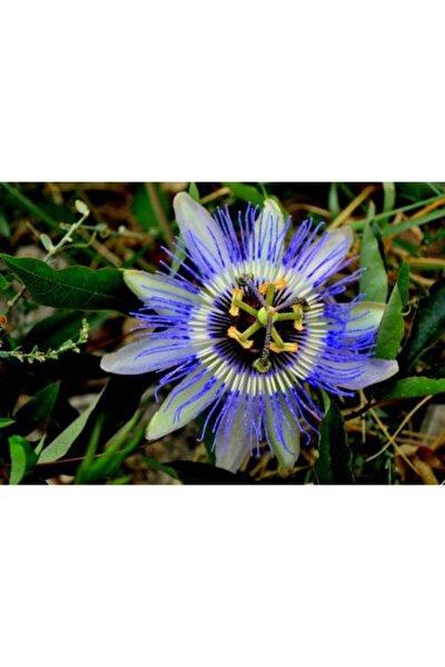 Mavi Çiçek Açan Çarkıfelek Saat Çiçeği 60 cm