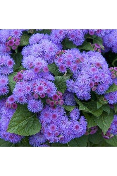 Vapur Dumanı Çiçeği 15 Adet Çiçek Tohumu Ev Bahçe Için Ideal