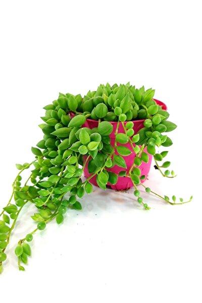 Tesbih Boncuk Çiçeği Sukulent 8,5 Cm Saksıda Dolgun Form