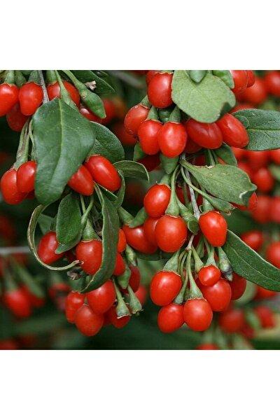 1 Adet Nq1 Goji Berry Fidanı Tüplüdür