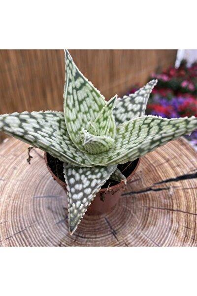 Aloe Rauhii Snowflake Çok Özel Seri 1. Kalite