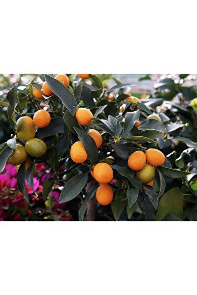 Citrus Fortunella Kumquat Kamkat Fidanı, 80-100 Cm, Saksıda