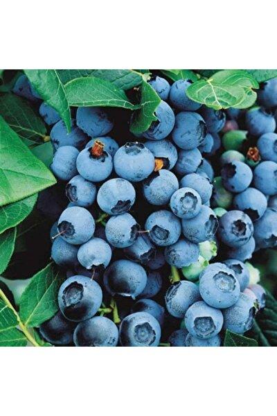 Yaban Mersini ( Lipaka Bonus Blueberry ) Fidanı Tüplüdür
