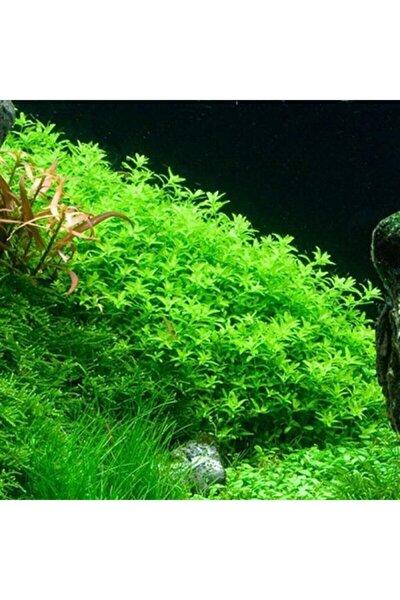 Micranthemum Micranthemoide Süs Bitkisi 50 Adet Tohum