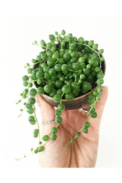 Tespih Boncuk Çiçeği Senecio Herreianus 5,5 Cm Saksı Kaktüs