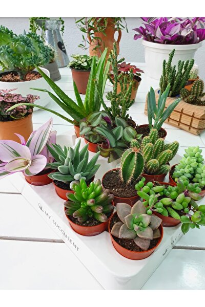 Kaktüs ve Sukulent 12'li Tam Karışık Mix 12'li Cactus Succulent