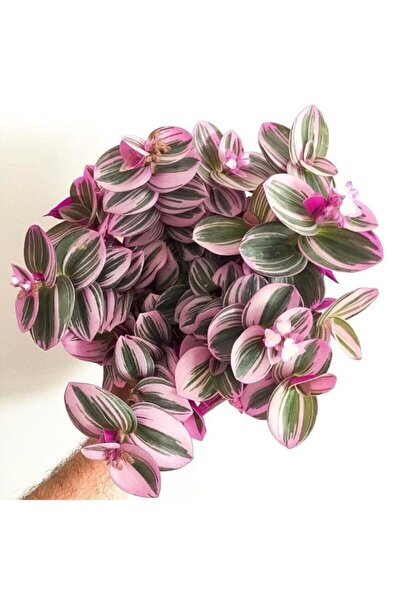 Telgraf Çiçeği Nanouk Zebrina Sukulent 5,5 Cm 1.kalite