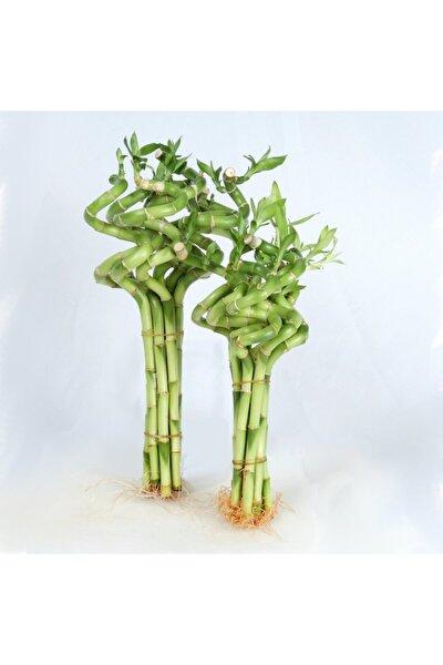 Dal Bambu Lucky Bamboo Şans Bambu 50 Cm 3 Lü Salon Ev Bitkisi