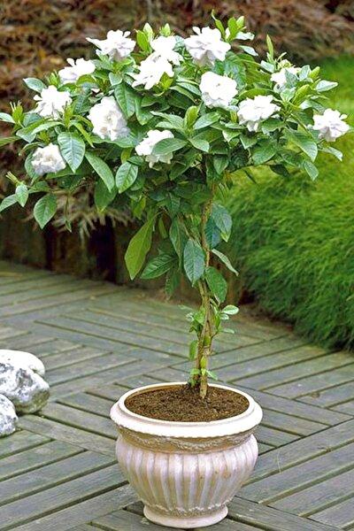 Gardenya Çiçek Tohumu 20 Adet Doğal Tohum Ev Bahçe Için Ideal