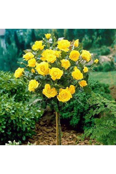 5 Adet Bodur Sarı Gül Ağacı Tohumu