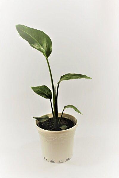 Starliçe-beyaz Cennet Kuşu (strelitzia Nicolai) 40-50 cm