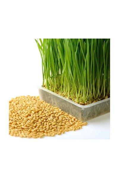 Buğday Tohumu 1 Kg Buğday Çimi Tohumu Kedi-köpek Çimi