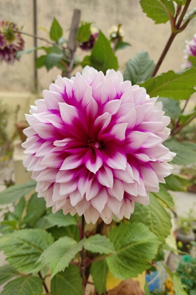Dahlia Yıldız Çiçek Tohumu 10 Adet Doğal Ev Bahçe Için Ideal Saksı+torf Hediye
