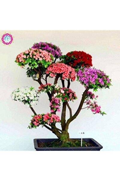 Japon Gülü Ağacı Bonsai Tohumu