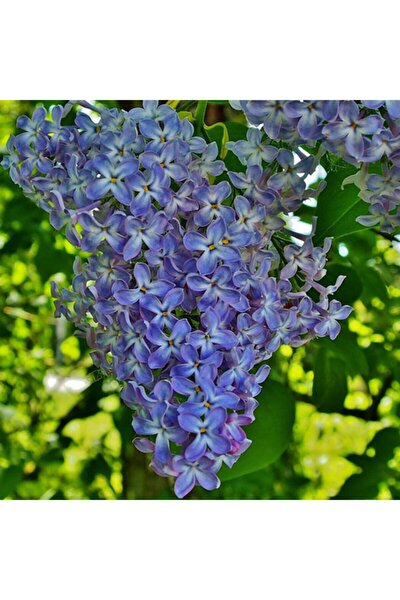 Leylak Çiçek Tohumu 5 Adet Doğal Mis Kokulu +saksı+torf Hediye Ev Bahçe Için Ideal