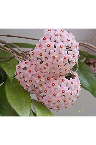 Mum Çiçeği Fidanı 30 cm