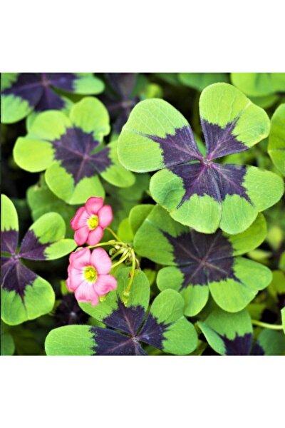 Oxalis Tetraphylla Iron Cross Süs Yoncası Soğan 5 Adet