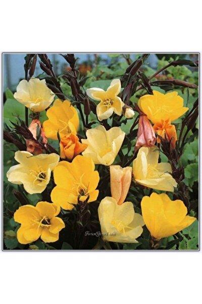 20 Adet Ezan Çiçeği Tohumu