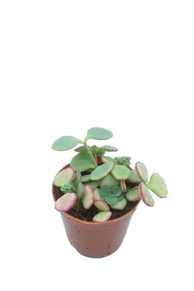 Sedum Sieboldii - 5,5 Cm Saksıda Pembe Çiçek Açan Sukulent