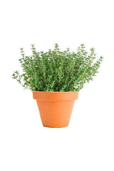 Aromatik Dağ Kekiği Tohumu 25 Adet Kekik Tohumu