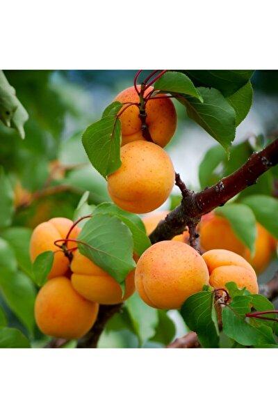 Tüplü Aşılı Çok Iri Meyveli Verimli Iğdır Şalağı Kayısı Fidanı