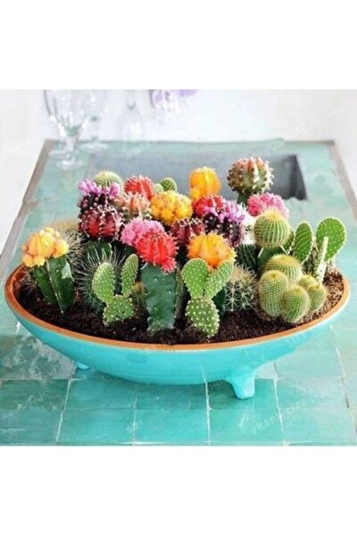20 Adet Karışık Renkli Kaktüs Çiçeği Tohumu